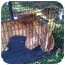 Photo 2 - Pit Bull Terrier/Great Dane Mix Dog for adoption in Fowler, California - Tiger