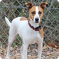 Adopt A Pet :: Bella - hartford, CT