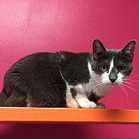 Adopt A Pet :: Balthazaar - Topeka, KS