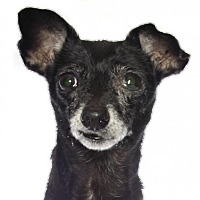 Adopt A Pet :: Betty - oakland park, FL