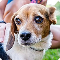 Adopt A Pet :: Vincent - Richmond, VA
