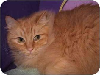 Ragdoll Cat for adoption in Keizer, Oregon - Sunny in Portland