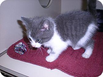 """Domestic Longhair Kitten for adoption in New Castle, Pennsylvania - """" Luigi """""""