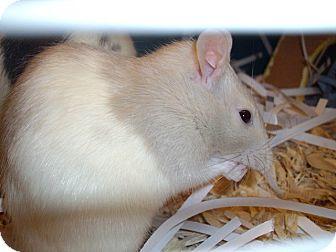 Rat for adoption in Greenwood, Michigan - Dani