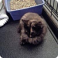 Adopt A Pet :: Three Little Kitten's - Clay, NY