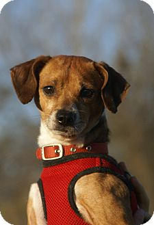 Chihuahua Mix Dog for adoption in Hawk Point, Missouri - Munchkin