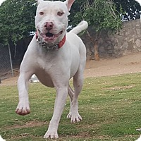 American Staffordshire Terrier Mix Dog for adoption in Las Cruces, New Mexico - Samson