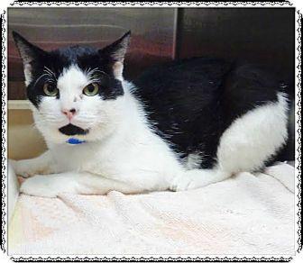 Domestic Shorthair Cat for adoption in Marietta, Georgia - BLAKE