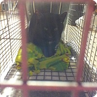 Domestic Shorthair Cat for adoption in Newtown, Pennsylvania - Schnookems