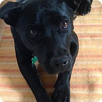 Adopt A Pet :: Laddie - Westminster, MD