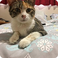 Calico Cat for adoption in Media, Pennsylvania - Mercy (May Special-$50)