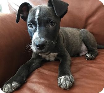 Labrador Retriever Mix Puppy for adoption in Fort Collins, Colorado - Frankie