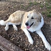 Adopt A Pet :: Denali - Kyle, TX