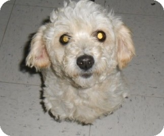 Poodle (Miniature) Mix Dog for adoption in Lockhart, Texas - Jade