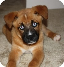 Boxer/Husky Mix Puppy for adoption in Madison, Wisconsin - Crystal