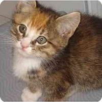 Adopt A Pet :: Pomagranite - Richmond, VA