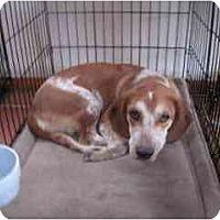 Adopt A Pet :: Molly Beagle - Albuquerque, NM