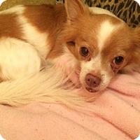Adopt A Pet :: Cowboy - Edmond, OK