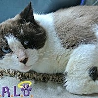 Siamese Cat for adoption in Sebastian, Florida - Snaps