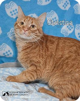 Domestic Mediumhair Cat for adoption in Fort Mill, South Carolina - Christina 5270b