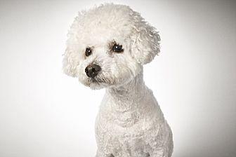 Bichon Frise Mix Dog for adoption in New York, New York - Gerard