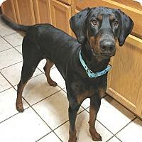 Adopt A Pet :: Hank--pending - New Richmond, OH