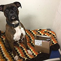 Boxer Dog for adoption in Westminster, Maryland - Ammo