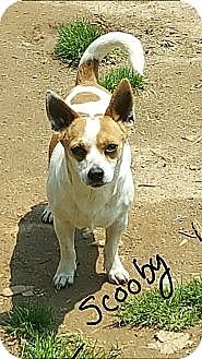 Jack Russell Terrier/Chihuahua Mix Dog for adoption in Albany, North Carolina - Scooby