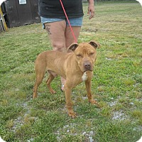 Pit Bull Terrier Dog for adoption in Halifax, North Carolina - Rowdy