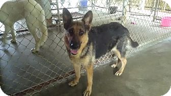 German Shepherd Dog Dog for adoption in Owenboro, Kentucky - BARETTA!