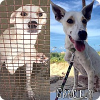 Saluki Mix Dog for adoption in Fort Lauderdale, Florida - Graciela