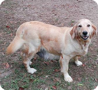 Golden Retriever Dog for adoption in Murdock, Florida - Amanda