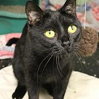 Domestic Shorthair Cat for adoption in Yukon, Oklahoma - Shrimp