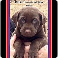 Adopt A Pet :: DEXTER - Milton, GA