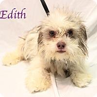 Adopt A Pet :: Edith - Bradenton, FL