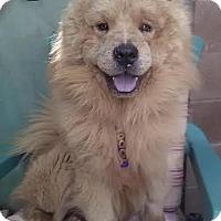 Adopt A Pet :: Cinnamon Fluffy Boy - Marina del Rey, CA