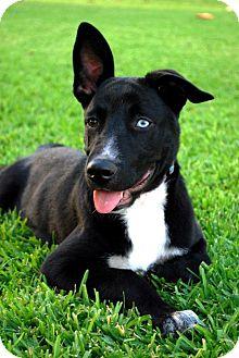Border Collie/Labrador Retriever Mix Puppy for adoption in Torrance, California - Lucas