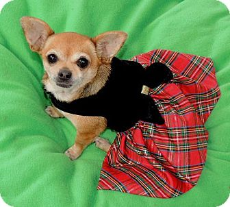 Chihuahua Mix Dog for adoption in La Habra Heights, California - Dorie