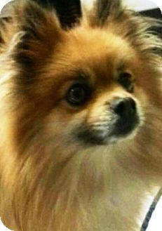 Pomeranian Dog for adoption in Oswego, Illinois - I'M ADOPTED Chewee Bellino