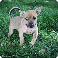 Adopt A Pet :: Cherry Cola - Broomfield, CO