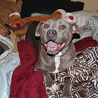 American Staffordshire Terrier Mix Dog for adoption in Toluca Lake, California - Jack