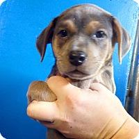 Adopt A Pet :: TESS LITTER BOY BLUE - Pompton Lakes, NJ