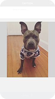 American Pit Bull Terrier Mix Dog for adoption in Bridgeport, Connecticut - Zade