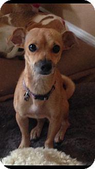 Chihuahua Mix Dog for adoption in Loxahatchee, Florida - Rita