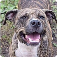 American Pit Bull Terrier Mix Dog for adoption in Saginaw, Michigan - Candy