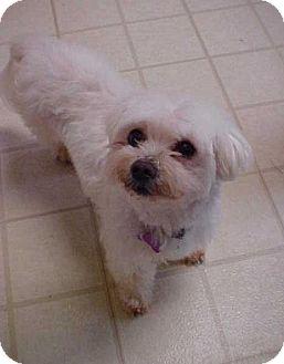Maltese Dog for adoption in Dahlgren, Virginia - Trixie -10 lbs