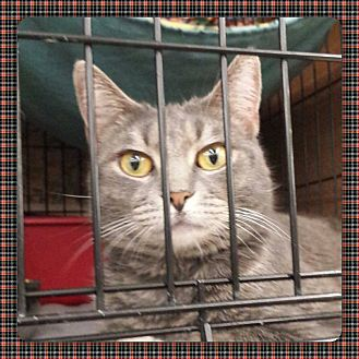 Domestic Shorthair Cat for adoption in Coshocton, Ohio - Merlin