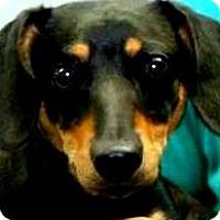 Adopt A Pet :: MISS LILAC(TINY LITTLE CUDDLER - Wakefield, RI