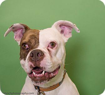 American Bulldog Mix Dog for adoption in Seattle, Washington - Lois Lane