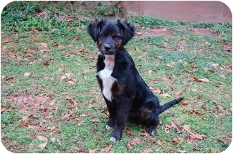 Bernese Mountain Dog/Border Collie Mix Puppy for adoption in Conyers, Georgia - Puddy